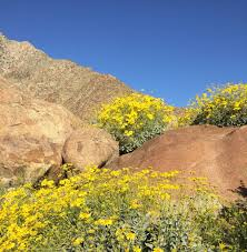 super bloom on the hunt for wildflowers in anza borrego and