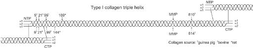 K Collagen cathepsin k cleavage identified in type i collagen cleavage
