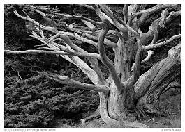 large format picture photo dead tree california usa
