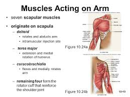 Shoulder And Arm Muscles Anatomy Muscles Acting On The Shoulder And Upper Limb Ppt Video Online