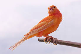 how did cardinals get those bright red feathers washington