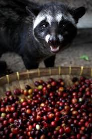 Luwak Coffee why you shouldn t drink civet coffee ny daily news