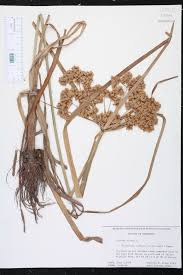 native plants of louisiana cyperus virens species page isb atlas of florida plants