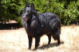 belgian shepherd kennels home girls