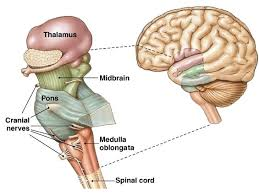 What Is The Main Function Of The Medulla Oblongata Brain Stem Stroke