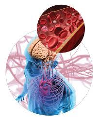 Blood Brain Barrier Anatomy New Insights Into The Blood Brain Barrier Cure Alzheimer U0027s Fund