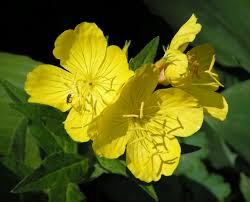 Evening Primrose Oil For Hair Loss How To Use Evening Primrose Oil To Stop Hair Loss