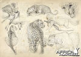 hunting leopard with hounds hunting