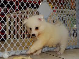 american eskimo dog houston not puppyfind craigslist oodle kijiji hoobly ebay