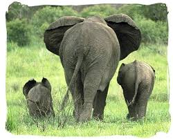 pin by merry peck harsh on elephants elephant family