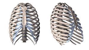 mahmoud nasr human anatomy part three rib cage mahmoud nasr