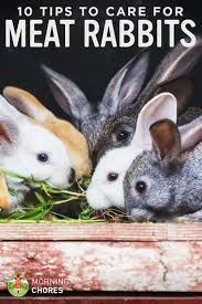 rabbit care guide 10 tips to care for your backyard meat rabbits