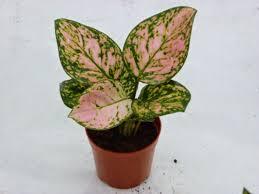 aglaonema buy plants online nursery delhi ncr online plants shop