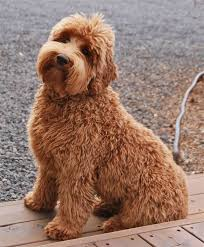 doodle doo labradoodles 127 best labradoodle s rule images on beautiful