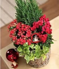 christmas plants christmas rosemary plant christmas and wreaths