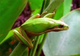 green treefrog big cypress national preserve u s national park