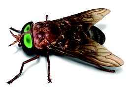 horse fly facts u0026 control get rid of horse flies