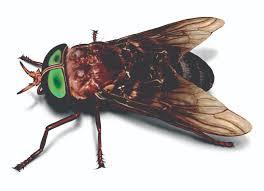 Flies In Backyard Horse Fly Facts U0026 Control Get Rid Of Horse Flies