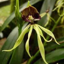 black orchid flower belize black orchid garden black orchid management our