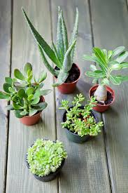 succulent plants plants and flowers indoors and out