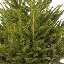 Nordmann Fir Christmas Tree Nj by Pot Grown Norway Spruce Living Christmas Tree 1 1 2m Tall Amazon