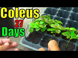 How To Grow Coleus Plants how to grow coleus plant from seeds seedling to transplanting