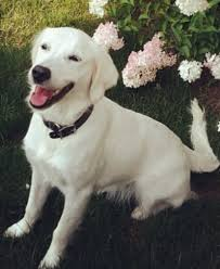 breeders of english golden retrievers soapstone mountain pups