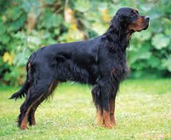 types of setter dog breeds gordon setter info temperament care training puppies pictures