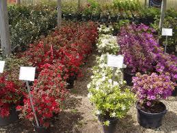 Azalea Topiary Evergreens Garden Center Plant Nursery Home Landscape Materials