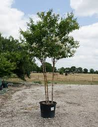 natchez crape myrtle dallas texas treeland nursery