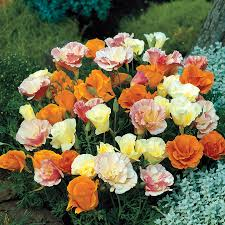 Poppy Flower Garden by Twister California Poppy Seeds From Park Seed