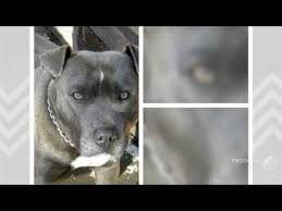 american pitbull terrier ireland irish staffordshire bull terrier dog breed youtube