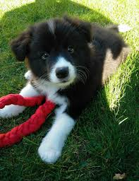 australian shepherd or border collie border collie mix puppies u bonnie s x x samoyed border collie mix