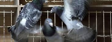 cuisine des pigeons voyageurs un pigeon voyageur vendu 310 000 euros