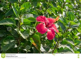beautiful hibiscus flower on an autumn morning also known as