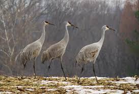 Maryland Biodiversity Project Sandhill Crane Antigone Canadensis