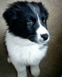 australian shepherd or border collie border collie australian shepherd mix pit bull u0026 border collies