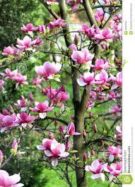 magnolia spring trees in bloom stock photo image 32281840