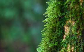 does moss really only grow on the side of trees mental floss