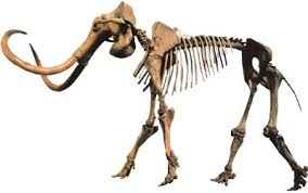 beautiful mammoth skeleton paleontology fossils paleoart