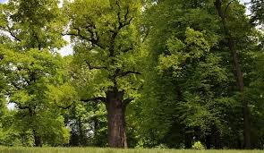 tree believed to jews during holocaust voted europe s