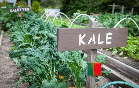 10 tips for growing kale rodale u0027s organic life