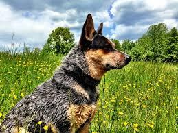 blue heeler x australian shepherd 437 best dogs images on pinterest australian cattle dog animals