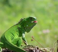 imágenes de iguanas verdes mascotas y mas la iguana verde y sus cuidados