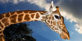 what does the giraffe say scientists find the answer wired