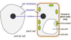 bbc gcse bitesize animal and plant cells