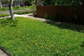 ornamental peanut arachis glabrata j l c outdoors lawn