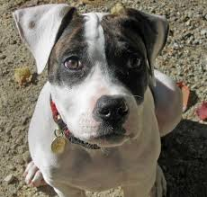 colby american pitbull terrier colby the american bulldog puppies daily puppy