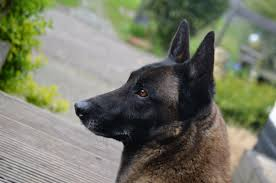 belgian sheepdog dog rescue pet adoption face foundation
