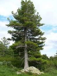 illustration of evergreen cedrus deodara deodar cedar himalayan